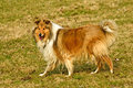 Collie a female british truebred dog Royalty Free Stock Photos