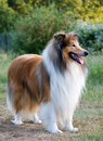 Collie Portret Szorstki Psi Fotografia Royalty Free