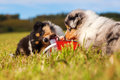 Collie puppies trying to open a feed box Royalty Free Stock Photo
