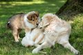 Of collie puppy on meadow and golden retriever playing with a Royalty Free Stock Photo