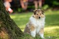 Of collie puppy on meadow portrait long haired Stock Images