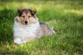 Of collie puppy on meadow portrait long haired Royalty Free Stock Image