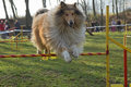 Collie rough dog is jumping an obstacle outdoors Royalty Free Stock Images