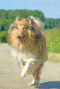 Collie running Royalty Free Stock Photo