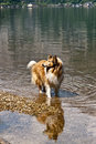 Collie scottish dog in a water of a lake Stock Photography