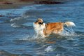 Collie in the sea Stock Photo