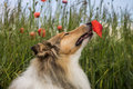 Collie sniffing the poppy