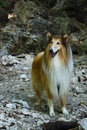 Collie walking in the mountains Royalty Free Stock Photography