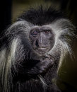 colobus Colobus guereza monkey portrait, looking straight at camera Royalty Free Stock Photo