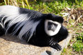 Colobus monkey black and white laying on a rock looking up at camera Royalty Free Stock Photo