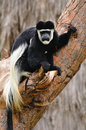 Colobus monkey guereza in safari park central israel Stock Photography