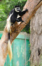 Colobus monkey guereza sitting on the tree in safari park central israel Royalty Free Stock Photos