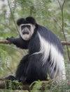 Colobus monkey sitting on a tree branch at Lake Naivasha Royalty Free Stock Photo