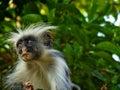 Colobus monkey in zanzibar island tanzania Stock Images