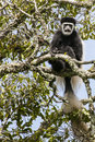 Colobus noir et blanc moneky Photos stock