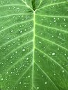 Colocasia - Elephant Ear Leaf Background with water drops Royalty Free Stock Photo