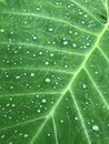 Large Elephant Ear Leaf Background with water drops Royalty Free Stock Photo