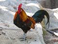 The coloful rooster Stock Photo