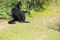 Colombian black spider monkey sitting on the grass Stock Image