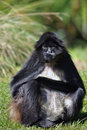 Colombian Spider Monkey Royalty Free Stock Images