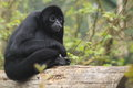 Colombian spider monkey the adult sitttin on the trunk Royalty Free Stock Images