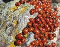 Colonia dei Lady-bugs Fotografia Stock
