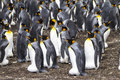 Colonia di re penguins falkland islands Fotografie Stock