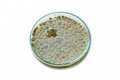 Colonies of allergenic fungus penicillium from air spores on a petri dish x agar plate x Royalty Free Stock Photo