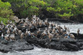 Colony of blue footed boobies Royalty Free Stock Photo