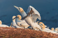 Colony of gannets at Helgoland island in North Sea, Germany Royalty Free Stock Photo