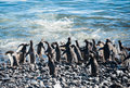 Colony of Gentoo penguins on the beach Royalty Free Stock Photo
