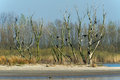Colony Great Cormorants in tree Royalty Free Stock Photo