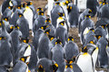Colony of king penguins in bluff cove penguin aptenodytes patagonicus falkland islands Royalty Free Stock Photos