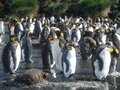 King Penguins on the South Georgia Islands, Antarctica Royalty Free Stock Photo