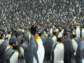Colony of kings penguins Royalty Free Stock Photo