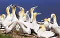 Colony of Northern Gannets, Bonaventure Island, Canada Royalty Free Stock Photo