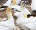 Colony of Northern Gannets, Bonaventure Island Quebec Royalty Free Stock Photo
