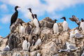 Colony of Seabirds at Farne Islands