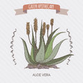 Color Aloe Vera flower and plant sketch. Royalty Free Stock Photo