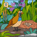 Color alphabet: letter Q (quail)