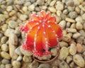 Color cactus desert flower garden Royalty Free Stock Photo