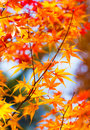 Color changing maple leave in autumn Royalty Free Stock Photography