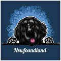 Color dog head, Newfoundland breed on blue background Royalty Free Stock Photo