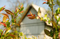 Color leaves of spring.  abandoned white wooden house in the background. hungarian rural. Royalty Free Stock Photo