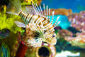 Color lionfish swims behind sea background around colorful coral Royalty Free Stock Photography