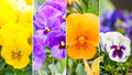 Color pansies spring collage of colored Stock Photo