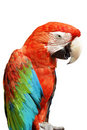 Color parrot Royalty Free Stock Photos