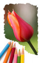 Color pencil drawing tulip flowers Stock Photo