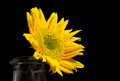 Bright Sunflower in an Old Bottle on a Black Background Royalty Free Stock Photo