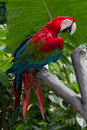 Color scarlatto del Macaw Fotografie Stock
